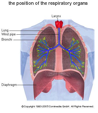 diaphragm and lungs relationship tips